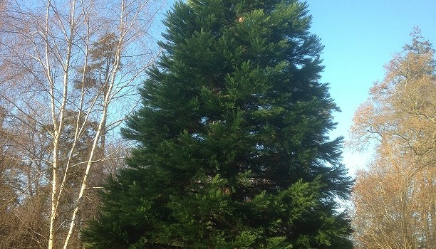 Christmas trees: The difference between firs, spruces and pines.