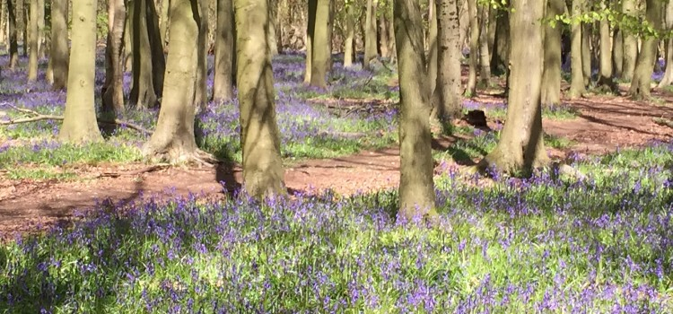 Bluebells at Ashridge – a sight worth seeing