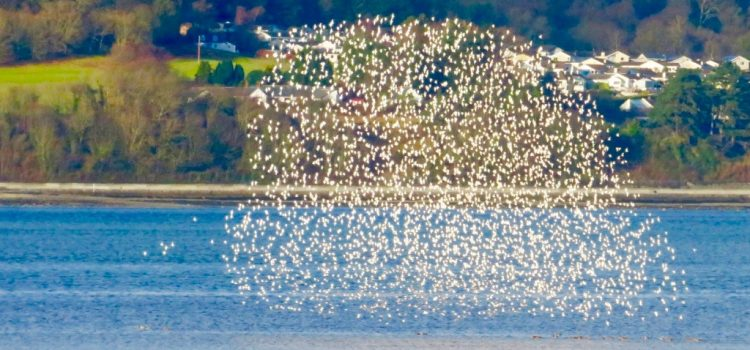 A spectacular murmuration in North Wales …